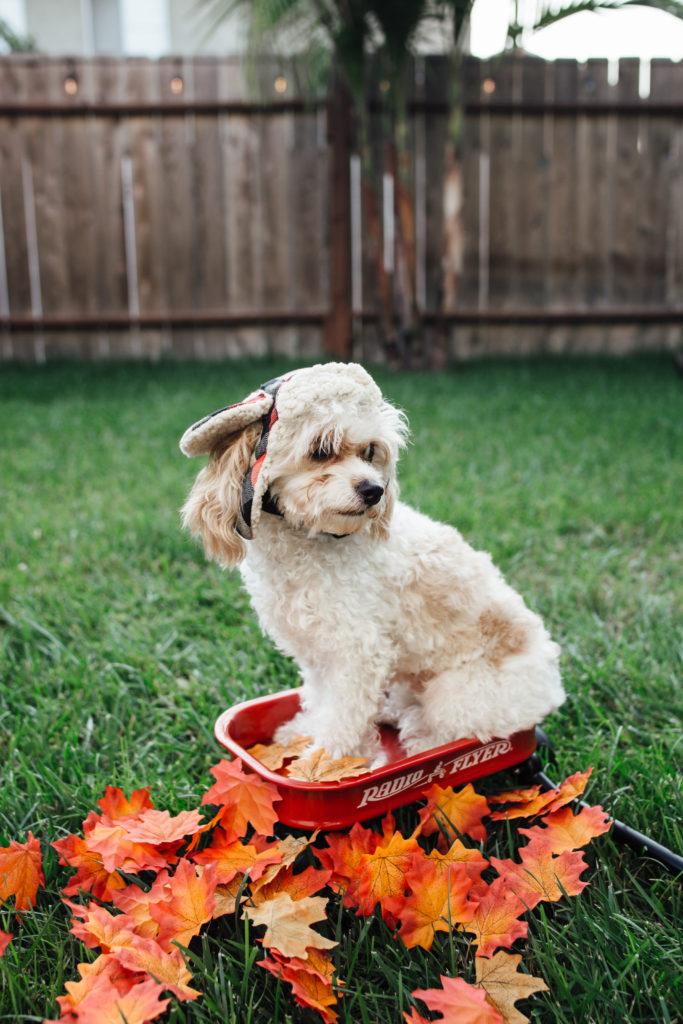 doug the dog - fall photoshoot - dog in a wagon