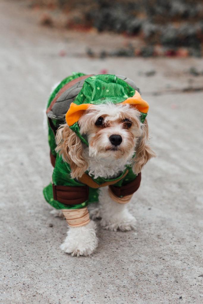 Doug the Dog Cavachon Puppy halloween costume michelangelo teenage mutant ninja turtle