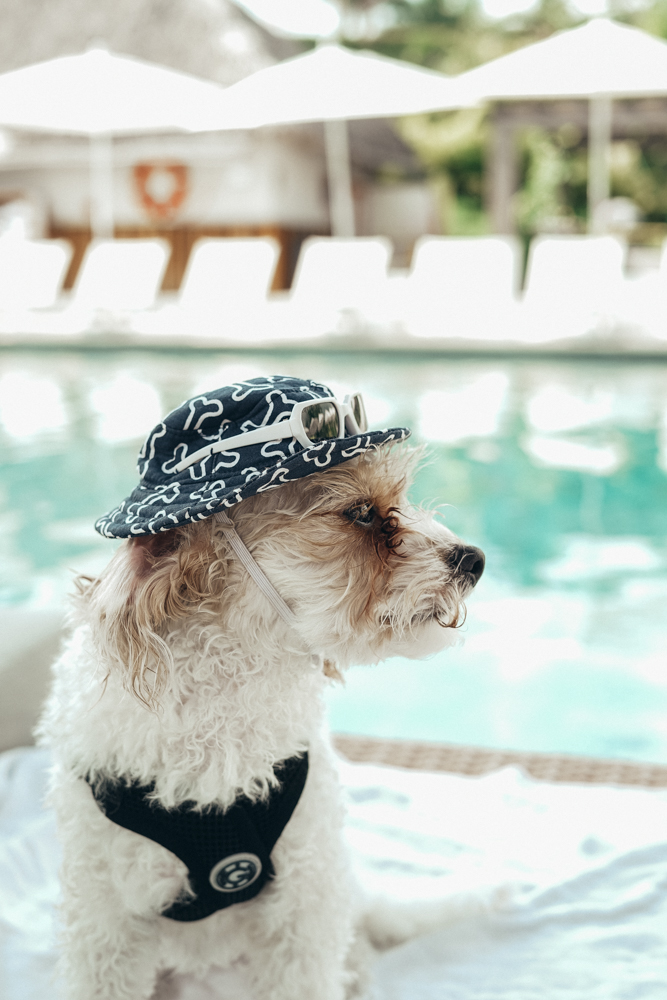 Doug the Dog W Hotel Pet Friendly wearing hat and sunglasses