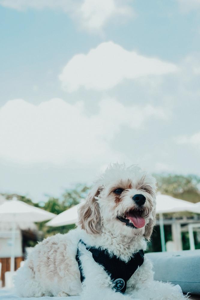 Doug the Dog Poolside in Punta Mita Mexico